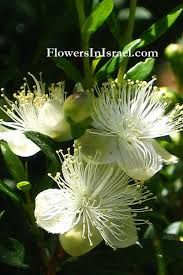 Image result for Common myrtle