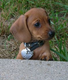 My Scooby as a puppy..mini Doxie