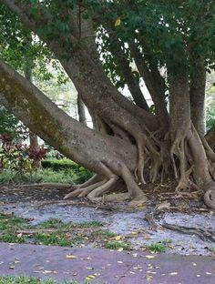 Fig tree sexual innuendo