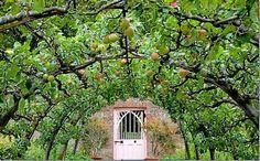 On Gardening: Ancient technique flattens fruit trees