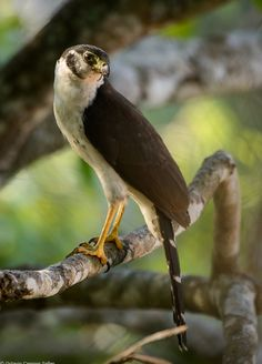 Collared Forest Falconet