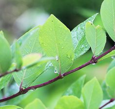 Perky purple new stems of 'Winter Beauty' honeysuckle.  Winter AND Summer beauty, I say.  Lonicera x purpusii 'Winter Beauty'
