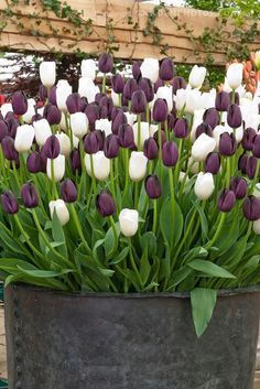 Tulips mixed 'Queen of Night' + 'Snowpeak' purple and white tulip colors together in spring flowering bulbs container garden using old metal tub. LUV the tulips Tulip Colors, White Tulips, Purple Tulips, My Secret Garden, Flower Beds, Dream Garden, Garden Pots, Garden Inspiration, Beautiful Gardens