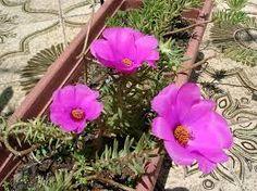 Resultado de imagem para flor onze horas