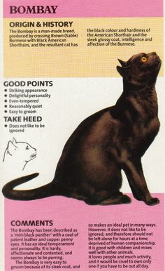 Fantastic Photographs Cat Breeds bombay Tips : Lots of people believe felines are simply just kittens and cats, and this almost all your same. Those self same persons may very well be astonished to. Bombay Cat, Image Chat, Super Cat, Cat Facts, Beautiful Cats, Cat Love, Crazy Cats, Cool Cats, Cats And Kittens
