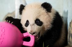 Giant pandas are native to central China and have come to symbolize vulnerable species. As few as giant pandas live in their native habitat, while another 600 pandas live in zoos and breeding centers around the world. Vulnerable Species, Bao, Animal Kingdom, Dog Cat, Cute Animals, Panda Bears, March, Water Parks, Fuzz