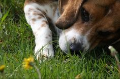 Beagle  Only a beagle can sniff up one side of a blade of grass and down the other then move on to the next blade!