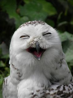 Fun and laughter with the Snowy Owl (Bubo scandiacus) Pics) Owl Pictures, Funny Animal Pictures, Baby Animals, Funny Animals, Cute Animals, Funny Owls, Beautiful Owl, Animals Beautiful, Majestic Animals