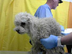 STRUDEL - ID#A616167 (earliest available date is 2/16 - any investigation could delay date)  I am a female, white Poodle - Miniature.  The shelter staff think I am about 12 years old.... See More — with Kate Suileabhain at Devore Shelter at 19777 Shelter Way, Devore, CA 92407 in San Bernardino County, CA 92407: (909) 386-9820, ext 0. Sharon Boulanger