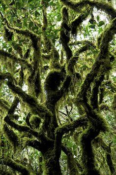 Lorberrwald im Nationalpark La Gomera