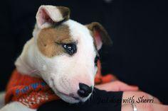 Bull Terrier baby.
