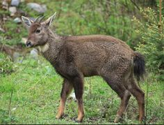 Red Goral (Naemorhedus baileyi) is a species of even-toed ungulate in the Bovidae family. It is a bright foxy-red animal with long, soft, shaggy hair. A thin, dark stripe runs along the back from the head to the tip of the tail.