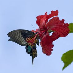 Wings on a Chinese peacock butterfly pick up pollen as the insect feeds on Hibiscus in Yunnan, China