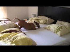 No One Has Ever Been As Excited As This Dog Jumping On The Bed- I can't stop laughing, every time I watch it!