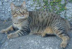 Pixie-bob cat. These beautiful cats make great pets.