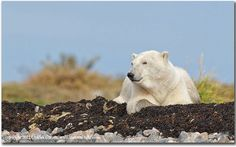 A good day to be a polar bear in Northern Manitoba. Photo by Charles Glatzer.