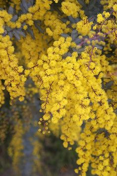 "Acacia baileyana ""Purpurea"", a gorgeous evergreen tree popular for it's foilage and pop-pop flowers. My very favorite tree. Australian Native Garden, Australian Flowers, Australian Plants, Trailing Flowers, Wild Flowers, Mimosas, Acacia Baileyana, Blossom Garden, Evergreen Trees"