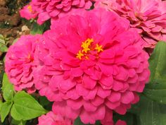 Ameriseed Zinnia elegans Zinnia Elegans, Zinnias, Presents, Flowers, Plants, Carnations, Gifts, Favors, Plant