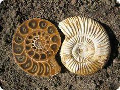 Ammonite fossil;  Euphoric rainbows.