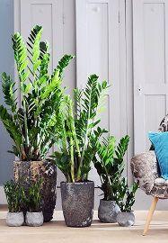 Kamerplant & Woonplant Zamioculcas, Stoere & Sterke Plant - Zamioculcas Planten Verzorging Tips (Foto BBH  op DroomHome.nl)