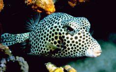 SMOOTH TRUNKFISH  (DE: Glatter- oder Perlen-Kofferfisch)