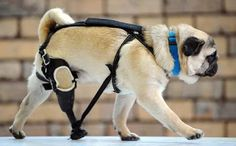 Brave Edward the pug showing off his artificial leg