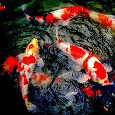 Японские карпы в пруду #карпы #пруд #рыбки #сад #японскийсад  #японский #Япония #carp #Japan #鯉 #池 #日本庭園