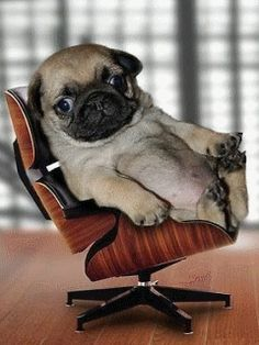 Cute small Pug on a mini chair