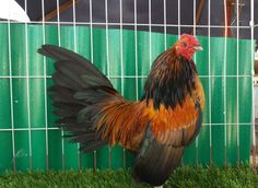Old English Game Bantam Bantam Chicken Breeds, Bantam Chickens, American Games, English Games, Chicken Lady, Game Birds, Chicken Coops, Roosters, Old English