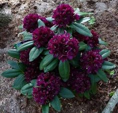 Rhododendron Polarnacht - Deep Purple Blooms - Will Grow to Three Feet - Hardy to -10 F - #1 Contain Container Size, Container Plants, Thing 1, Flowering Shrubs, Raised Garden Beds, Fence Garden, Deep Purple, Backyard Landscaping, Landscaping Design