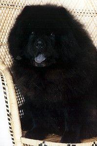 Chow Chow - looks just like my boo (Bronson CinTira Kuma Chan). Still miss him so much!
