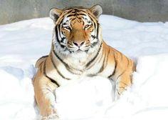 Max the tiger at Brookfield zoo!!