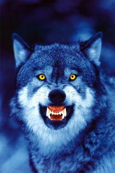Wolf :)
