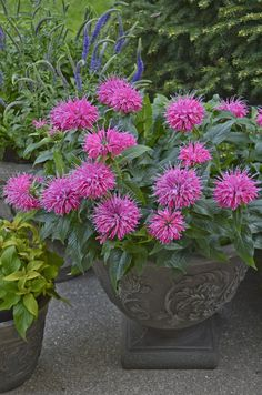 Pardon My Pink dwarf monarda (bee balm). Yes - dwarf! Short strong stems, very mildew resistant, PINK, and still loved by friendly bees everywhere. http://emfl.us/VXEd