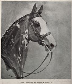 """""""Spot"""" former bucking horse owned by Mr. August Busch"""