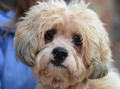 SUPER URGENT 11/8/14 Brooklyn Center  LUCAS aka LUCKY - A1019940  NEUTERED MALE, WHITE / CREAM, BICHON FRISE / SHIH TZU, 10 yrs OWNER SUR - EVALUATE, NO HOLD Reason PERS PROB  Intake condition EXAM REQ Intake Date 11/07/2014, From NY 11420, DueOut Date 11/07/2014 Main Thread: https://www.facebook.com/photo.php?fbid=902176729795207
