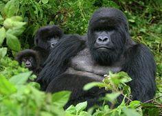 Gorilla Photos - Guardian by Bruce J Robinson