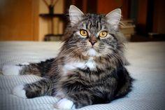 Neva's Legend Jojoba of Aurora Glow Siberian Cat, Aurora, Glow, Cats, Animals, Gatos, Animales, Animaux, Northern Lights