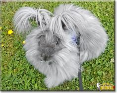 Read Blue's story the English Angora Rabbit from British Columbia, Canada and see his photos at Pet of the Day http://PetoftheDay.com/archive/2014/August/14.html .