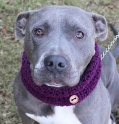 MacGuyver is an adoptable American Staffordshire Terrier Dog in Clarkston, GA. Meet MacGuyver!! MacGuyver was found behind an abandoned house in a Decatur neighborhood. He was chained up with a terrib...