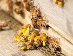 A bee genome project at the University of British Columbia will allow scientists…