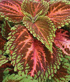 Coleus Plant Care & Growing Information   folia