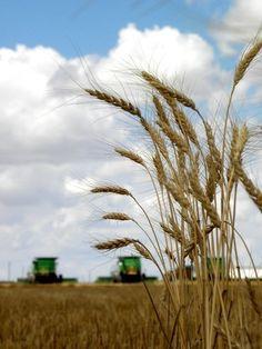 El olor del trigo!