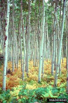 50 Ideas quaking aspen tree tattoo nature for 2019 Apple Tree Care, Aspen Wood, Tree Templates, Ink Addiction, Different Birds, Aspen Trees, Tree Illustration, Watercolor Trees, Trendy Tree