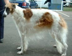 Borzoi Dog Info, Mixes, Temperament, Training, Puppies, Pictures Puppy Images, Puppy Pictures, Dog Photos, Borzoi Puppy, Russian Wolfhound, Training Your Puppy, Dry Dog Food, I Love Dogs, Dog Breeds