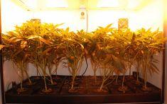 Nicou0027s Nuggets Grow Box vs. Grow Tent & gennaya-inzheneriya-v-konoplevodstve | ??????? | Pinterest | Cannabis