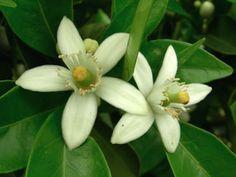 orange blossom - florida state flower