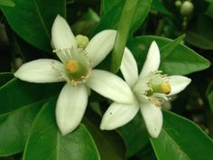 orange blossom - florida state flower