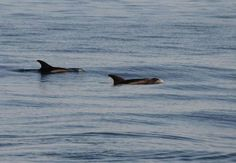WHITE-BEAKED #DOLPHINS CAPTURED ON FILM IN #FALMOUTH BAY.