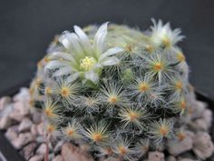 Mammillaria schiedeana is an attractive, slow growing cactus, up to 4 inches (10 cm), with short, hairy spines. The stem is globular flattened, more or...